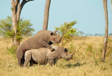 animals horned: Two Large white (square-lipped) rhinoceros (Ceratotherium simum) mating in the nature reserve in South Africa Stock Photo