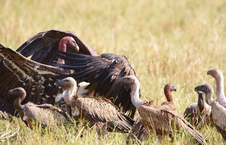 accipitridae: The Cape Griffon or Cape Vulture (Gyps coprotheres) gathering around prey in South Africa. It is an Old World vulture in the Accipitridae family
