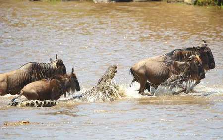 Many Crocodiles (Crocodylus niloticus) in the river in Kenya trying to grab Bluewildebeest crossing the river Stock Photo - 7078430