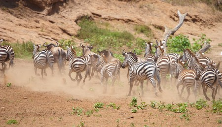 taurinus: Herd of zebras (African Equids) and Blue Wildebeest (Connochaetes taurinus) running in nature reserve in South Africa