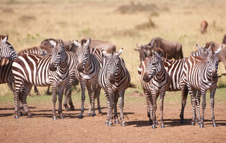 taurinus: Herd of zebras (African Equids) and Blue Wildebeest (Connochaetes taurinus) standing in savannah in nature reserve in South Africa