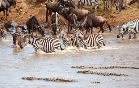 crocodiles: Herd of zebras (African Equids) and Blue Wildebeest (Connochaetes taurinus) crossing the river infested with Crocodiles (Crocodylus niloticus) in nature reserve in South Africa