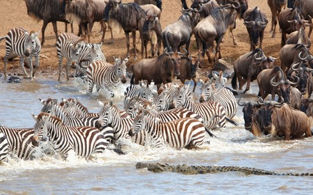 Herd of zebras (African Equids) and Blue Wildebeest (Connochaetes taurinus) crossing the river infested with crocodiles (Crocodylus niloticus) in nature reserve in South Africa photo