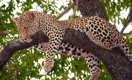 big five: Leopard (Panthera pardus) sleeping on the tree in nature reserve in South Africa Stock Photo