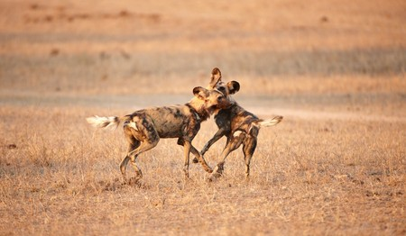 lycaon pictus: Two African Wild Dogs (Lycaon pictus), highly endangered species of Africa, playing in savannah