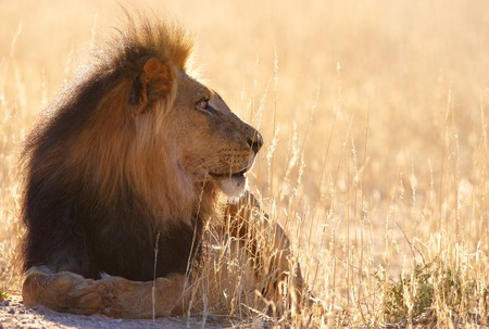 africa safari: Lion (panthera leo) lying in savannah in South Africa