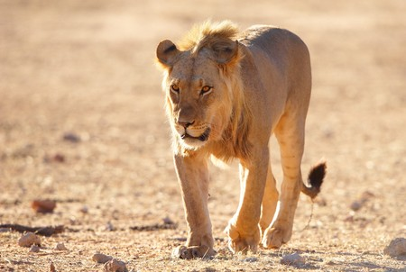 Single Lion (panthera leo) walking in savannah in South Africa  photo