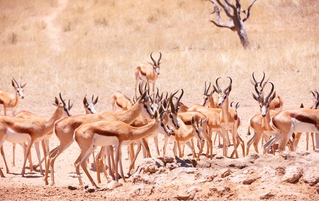 antidorcas: Large herd of Springbok (Antidorcas marsupialis) standing in the nature reserve in South Africa Stock Photo
