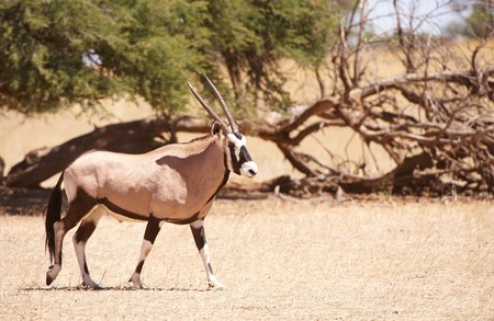 Single wild Gemsbok (Oryx Gazella) standing in the nature reserve in South Africa photo