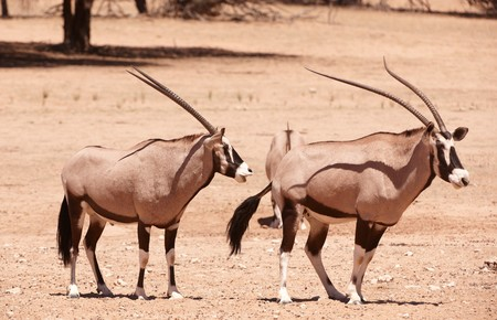 Group of wild Gemsbok (Oryx Gazella) standing in the nature reserve in South Africa photo