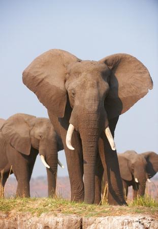 big five: Grandi elefanti africani (Loxodonta Africana) mangiare nella savana in Botswana