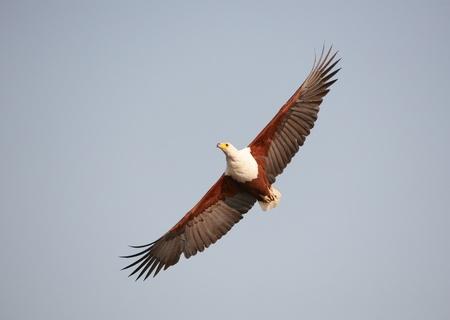 haliaeetus: African Fish Eagle (Haliaeetus vocifer) in flight in Botswana