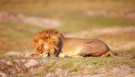 Lion (panthera leo) with many scratches on his face sleeping in savannah in Botswana Stock Photo - 8825787