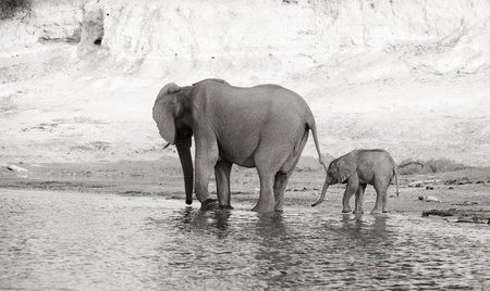 Herd of African elephants (Loxodonta Africana) drinking from the river in Botswana, black and white photo