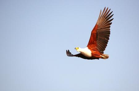 a large bird of prey: Vocifer (Haliaeetus vocifer) in volo in Botswana Archivio Fotografico