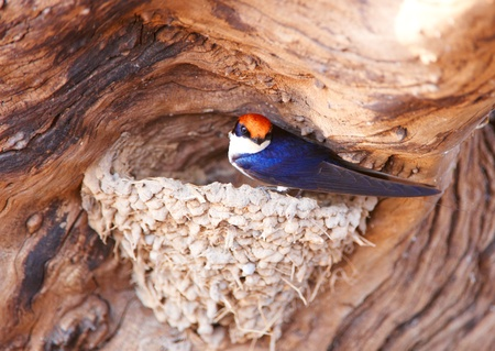 birdlife: Wire-tailed Swallow (Hirundo smithii) sitting in its nest on the tree in Botswana Stock Photo