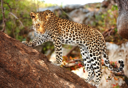 panthera pardus: Leopard (Panthera pardus) standing alert on the tree in nature reserve in Botswana Stock Photo