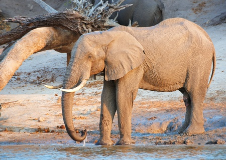 Large herd of African elephants (Loxodonta Africana) drinking from the river in Botswana photo