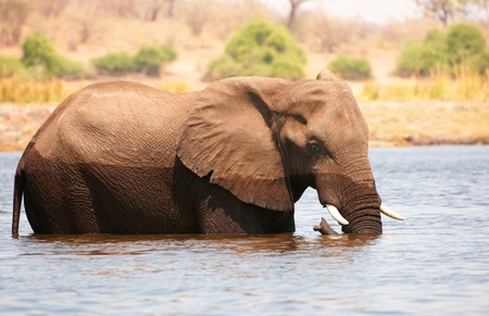 africana: Large African elephant (Loxodonta Africana) standing in the river in Botswana