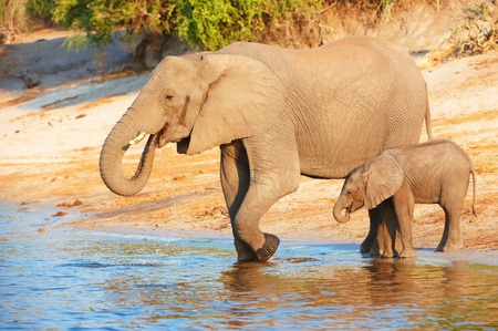 africana: Large herd of African elephants (Loxodonta Africana) drinking from the river in Botswana Stock Photo
