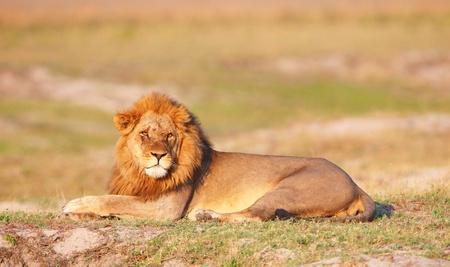 Lion (panthera leo) lying in savannah in Botswana Imagens