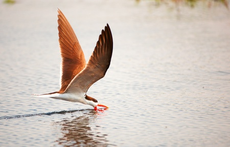 skimmer: African Skimmer (Rynchops flavirostris) in flight catching food from the river in Botswana