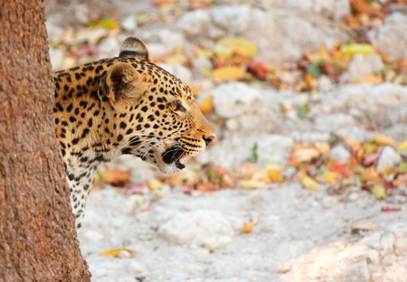 panthera pardus: Leopard (Panthera pardus) hunting in nature reserve in Botswana