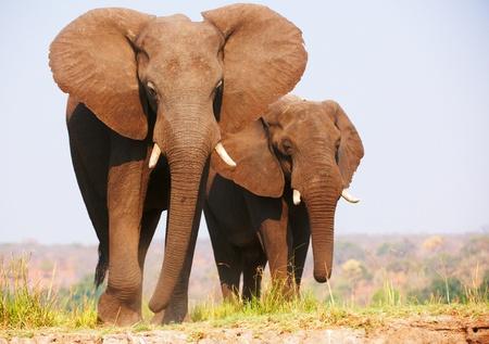 big five: Herd of African elephants (Loxodonta Africana) standing in savannah in Botswana