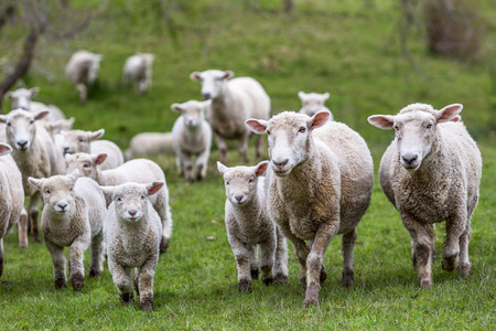 New Zealand farm sheep lambs