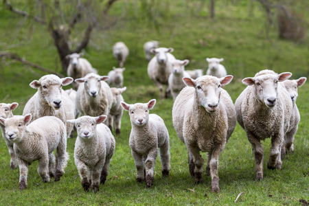 Sheep and lambs in paddock Stock Photo