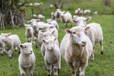 Lambs and sheep green grass
