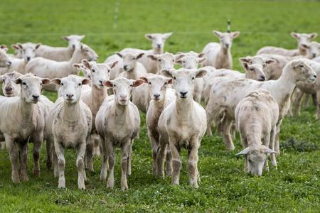 pecora: Gregge di pecore che sono appena stati tosati su erba verde Archivio Fotografico