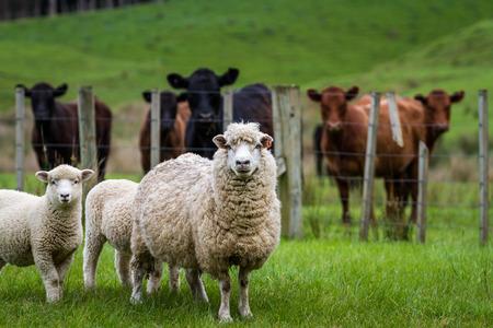 pecora: Pecore e mucche