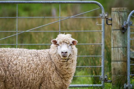 verjas: Solas ovejas