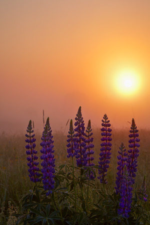 lupines: Lupines at dawn Stock Photo