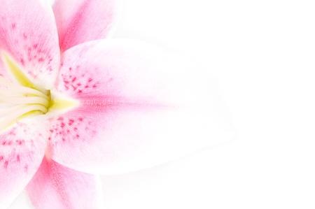 lirio blanco: Lirio rosa y blanco sobre un fondo blanco