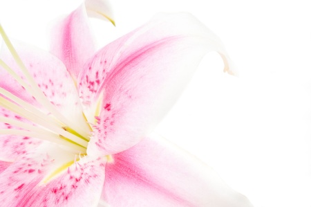Pink and white lily on a white background