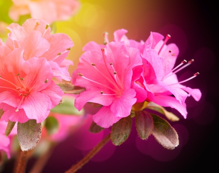Azalea on dark background. Floral art design