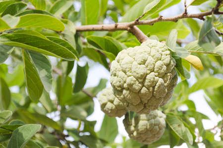 Custard apple green on trees and lush green leaves.