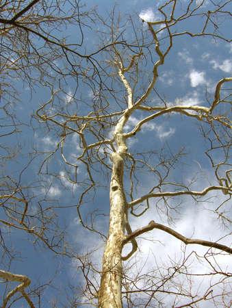 gnarled: gnarled country tree