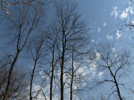 upward view of winter trees on a clear day Stock Photo
