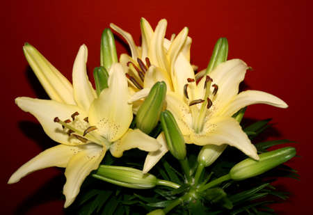 several lillies on red background