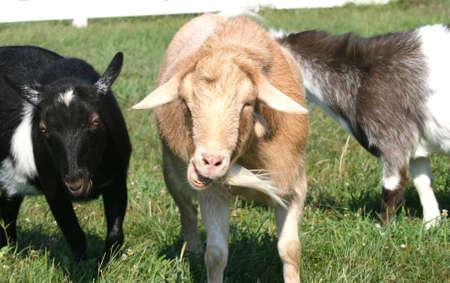 talking goat Stock Photo - 2020277