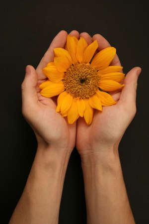 offering: head of sunflower cupped in mans hands Stock Photo