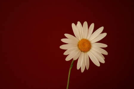 single white daisy on red background Stock Photo