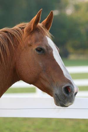 horse, profile, head, quarterhorse, sorrel, blaze, white, brown, equestrian, beautiful, closeup, animal, farm, large photo
