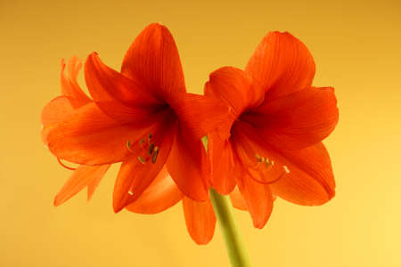 red canna lillies on pale yellow background
