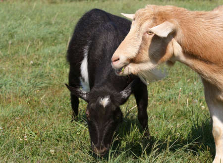 clover chow down by pet goats