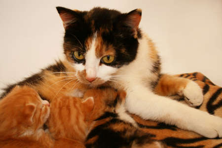 mother calico with nursing kittens Stock Photo
