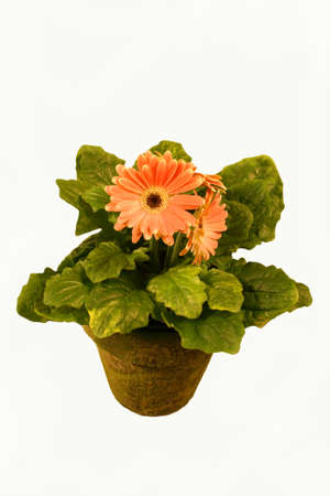 gerbra daisy plant in a mossy pot Stock Photo - 3030496